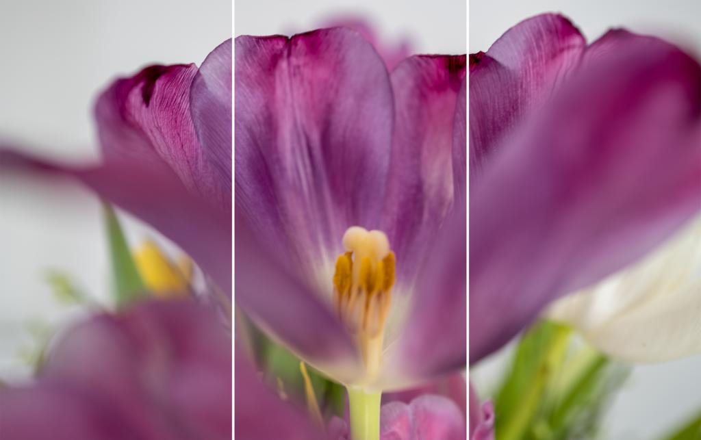 Triptychon Tulpe © Werner Schauer